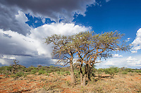 Arid savannah and afternoon cloud build up over the Mokala National Park, Mokala National Park, Northern Cape, South Africa