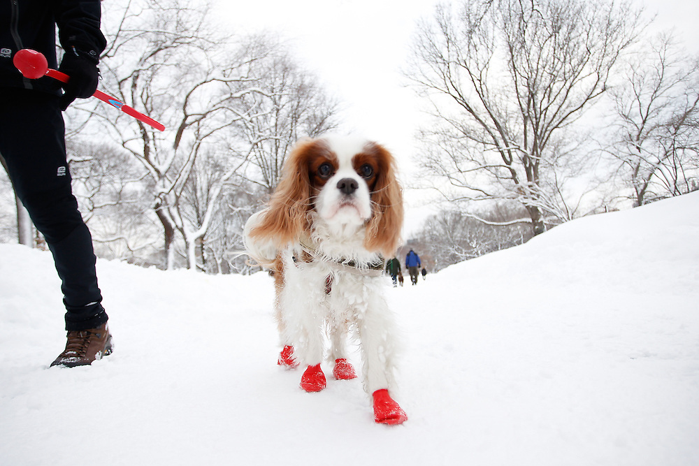 A dog  walks in the snow in Central Park  on January 27, 2011 in New York City..Photo by Joe Kohen for The Wall Street Journal