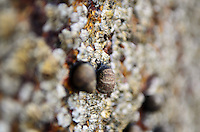 Common Periwinkles among barnacles on the coast of Maine, with very shallow depth of field.