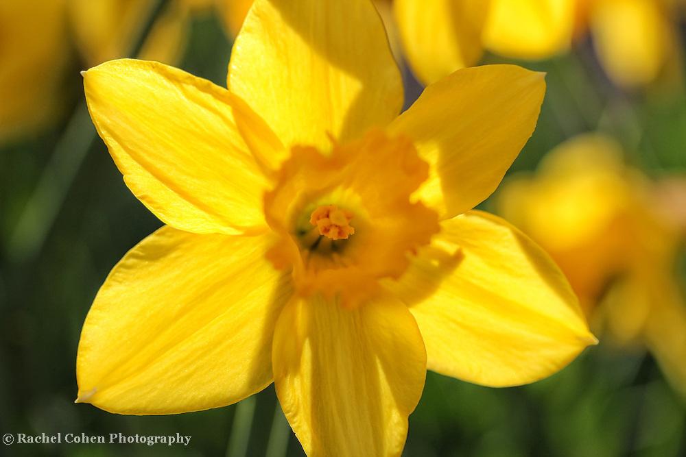 &quot;Back Lit Petals&quot; 2<br /> <br /> Flowers by Rachel Cohen