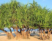 Pandanus palm trees growing on sandy beach, Nilavelli Trincomalee, Sri Lanka, Asia