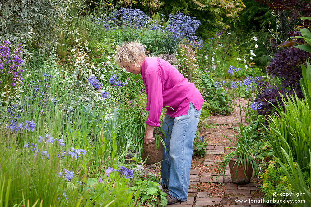 Carol Klein placing container of Agapanthus campanulatus in a border