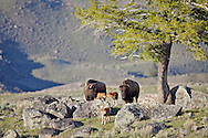 """Spring time in Yellowstone is when we get to watch the new crop of bison calves proliferate. Colloquially known as """"red dogs"""" they are fun to watch and these temporarily cute little critters hop, run, jump and play across the landscape of Yellowstone National Park"""