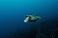 A Honeycomb Trunkfish.