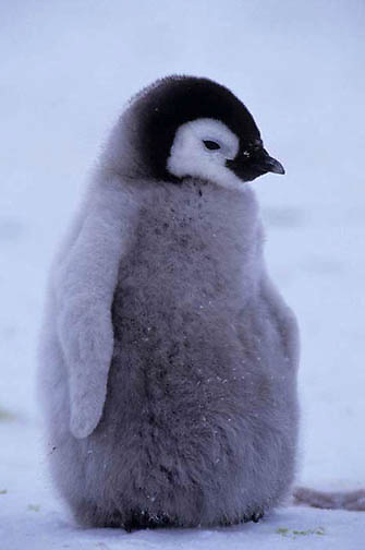 Emperor Penguin, (Aptenodytes forsteri) Portrait of chick. Riiser Larsen ice shelf. Antarctica.