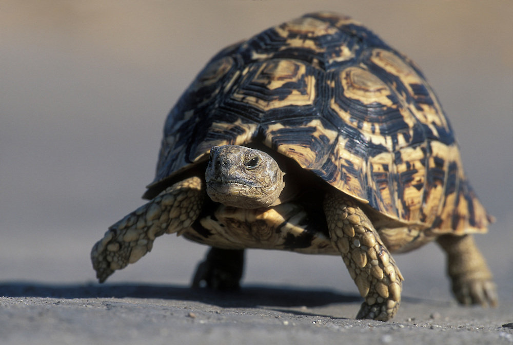 Botswana, Chobe National Park, Leopard Tortoise (Geochelone pardalis) slowly walks through dry sand in Savuti Marsh