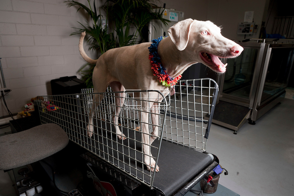 September 28th, 2011. Los Angeles, California. Canine rehab facility Two Hands Four Paws offers treatments like acupuncture, massage, and swim therapy for dogs. Pictured is India the Doberman using the treadmill..© JOHN CHAPPLE / www.johnchapple.com