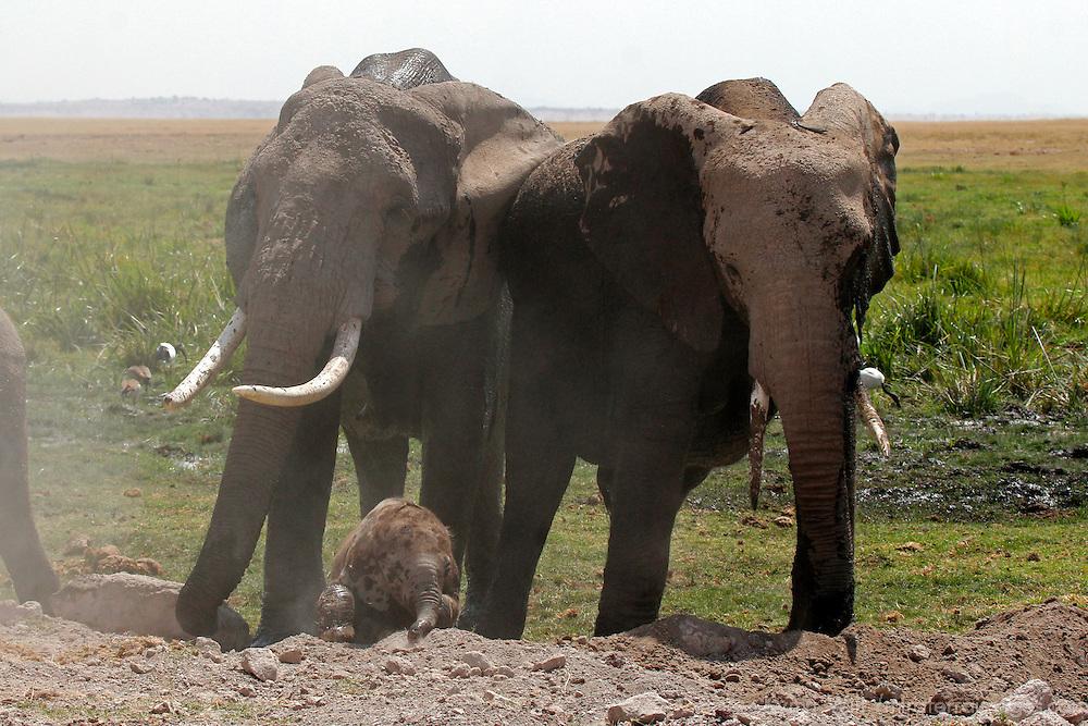 Africa, Kenya, Amboseli. Elephant family at Amboseli, with newborn.