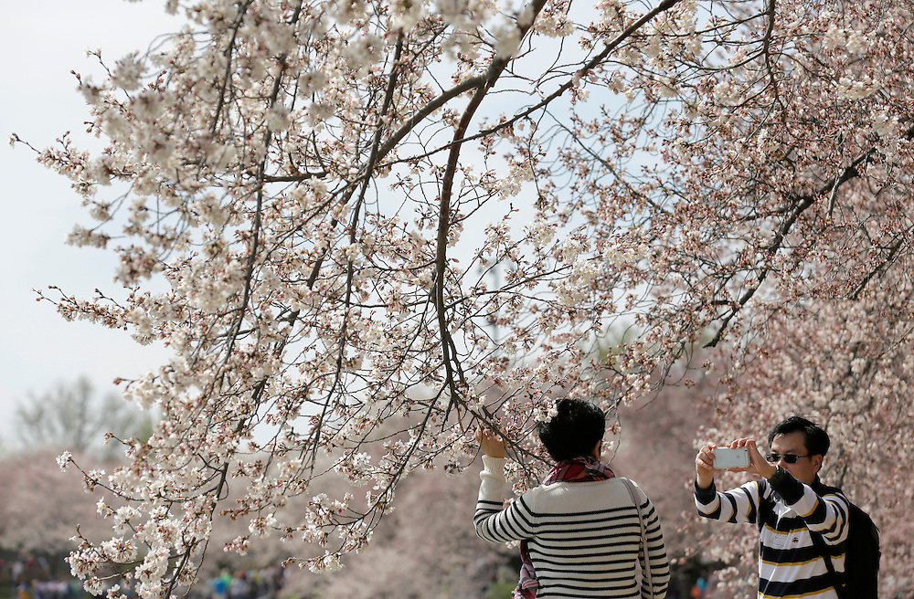 A man makes a photograph of his companion under blooming cherry trees along the tidal bason in Washington March 23, 2016.      REUTERS/Joshua Roberts