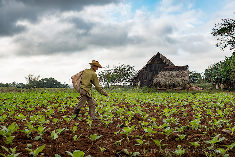 A farmer adds a fertiliser to a growing field of tiny tobacco plants. The terrain is seeded in autumn and harvested in spring. The cycle of life of tobacco plants allows only one harvest per year. Vinales valley, Cuba.