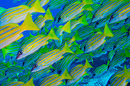 Alberto Carrera, Blue-striped Snapper, Lutjanus kasmira, North Ari Atoll, Maldives, Indian Ocean, Asia