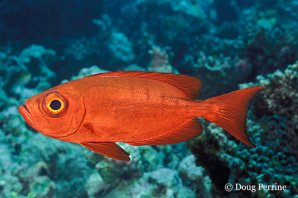 crescent-tail bigeye or goggleye, Priacanthus hamrur, Helengeli, Maldives ( Indian Ocean )