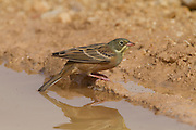 Ortolan Bunting (Emberiza hortulana) near a puddle of water in the desert, wintering in Negev, Israel
