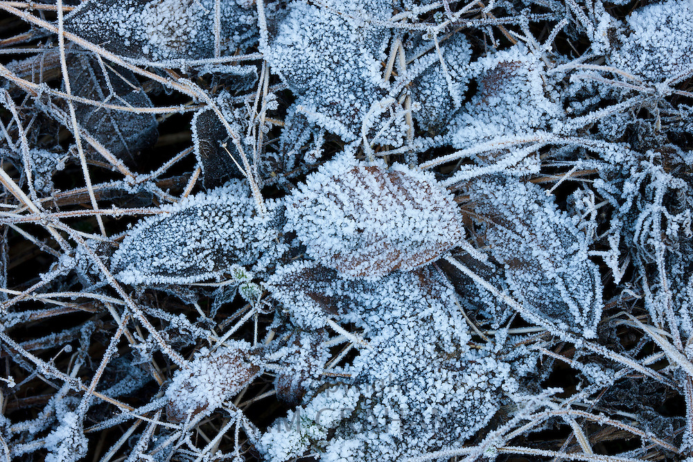 Leaves on woodland floor during hoar frost, Oxfordshire, United Kingdom