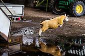 Sheep Farming in the Scottish Borders