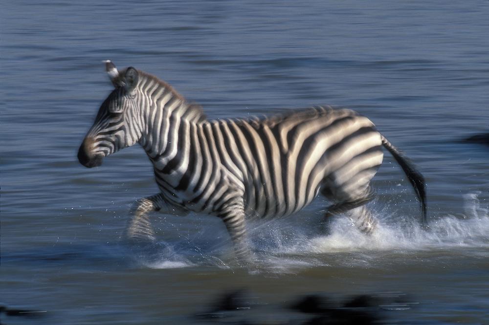 Kenya, Masai Mara Game Reserve. Blurred image of Plains Zebra (Equus burchelli) crossing Mara River in Serengeti migration
