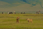 Male and female lions, Ngorongoro Conservation Area, Tanzania.