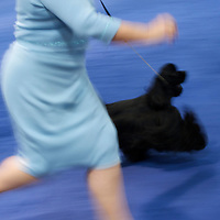 Spaniels compete during the ASC Flushing Spaniel Show at the Valley Forge Convention Center in King of Prussia, Pennsylvania, USA.  The annual contest is among the largest dog shows in the country and all important for spaniels, honouring the finest dog within the 12 breeds, the coveted best in show award.