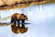Grizzly Bear crossing  Indian Creek casts a nice reflection in Yellowstone National Park