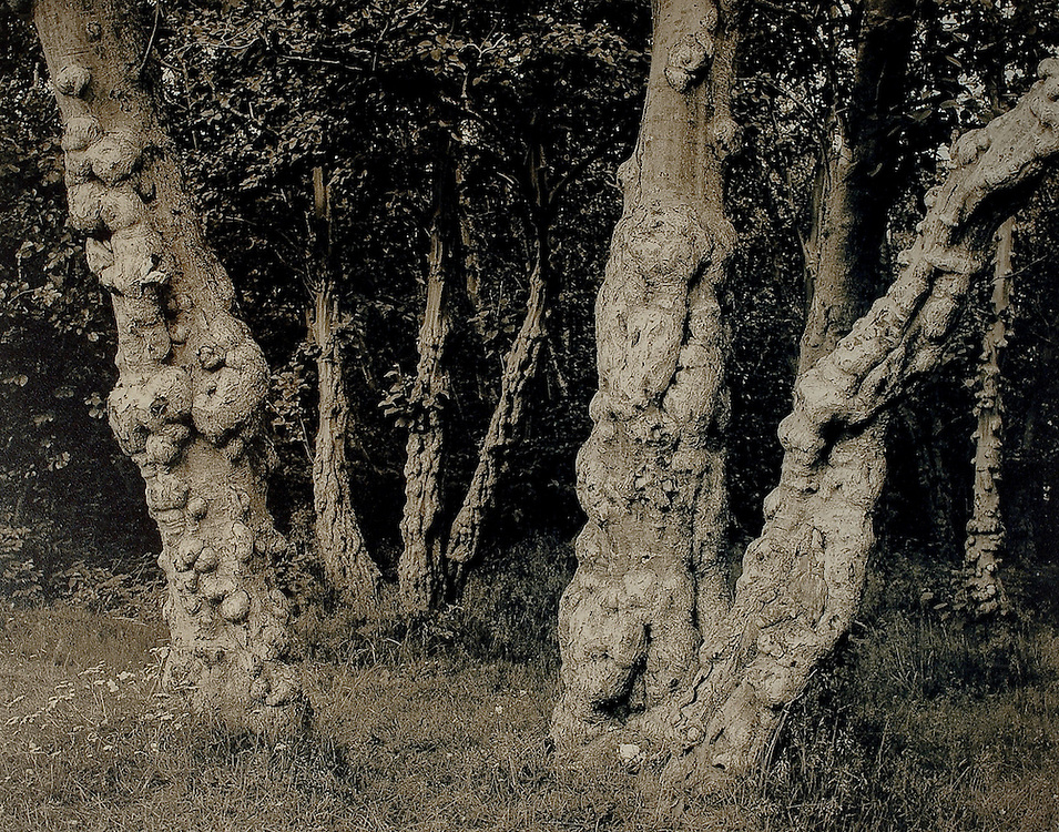 Troll Trees, Norway