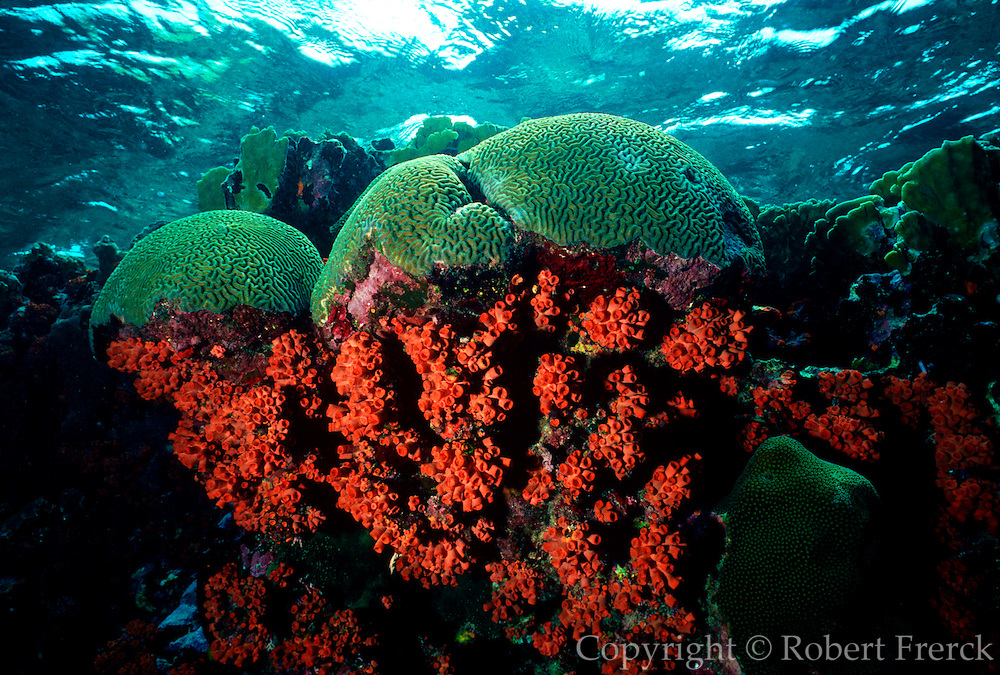 UNDERWATER MARINE LIFE CARIBBEAN, generic habitat CORAL: Brain and Tube coral