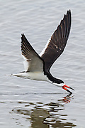 Black Skimmer in flight, skimming along the surface of the water