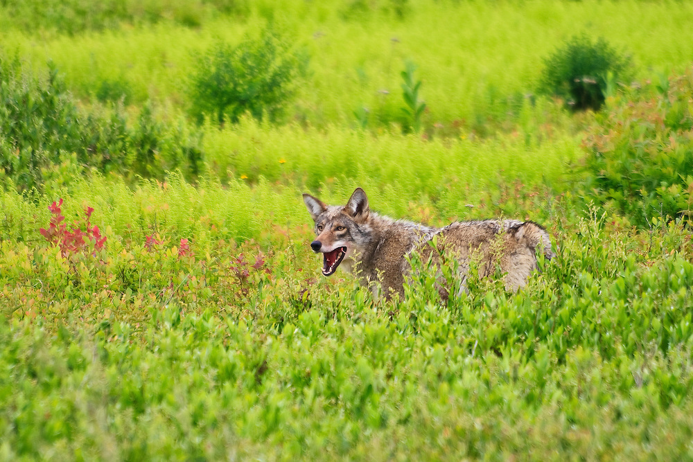 A coyote (Canis latrans) feeds on a previously killed white-tailed deer (Odocoileus virginianus) fawn, Big Meadows, Shenandoah National Park, Virginia.