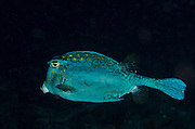 Honeycomb Cowfish (Acanthostracion polygonia)<br /> BONAIRE, Netherlands Antilles, Caribbean<br /> HABITAT & DISTRIBUTION: Above reefs. <br /> Florida, Bahamas, Caribbean,  Bermuda north to New Jersey &  south to Brazil.