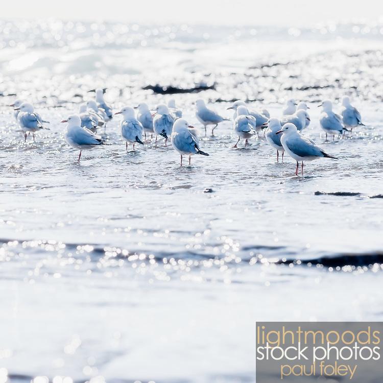 Seagulls on rocky shoreline, East Coast Australia