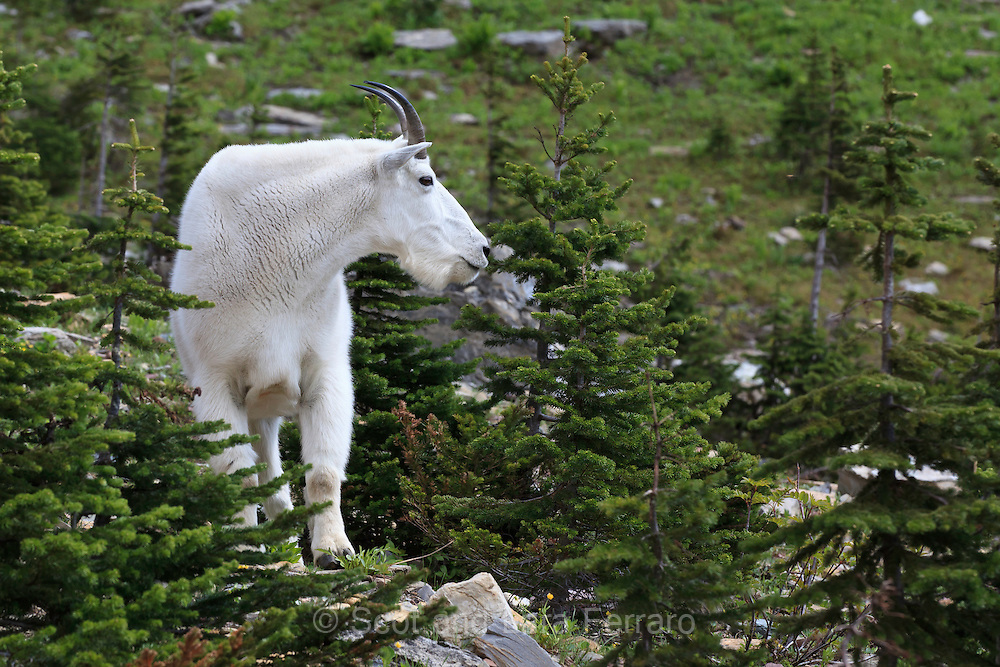 A mountain goat sniffing the trees along Highline trail in Glacier National Park.
