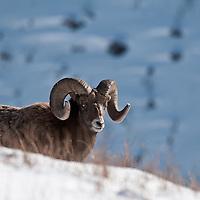 bighorn sheep in snow wild rocky mountain big horn sheep