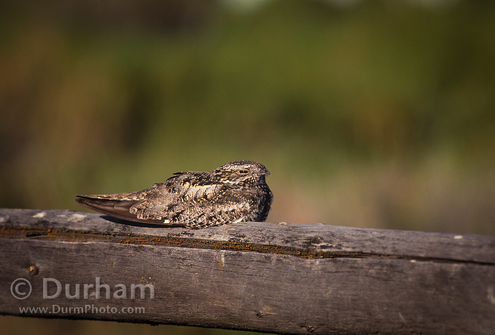 A common nighthawk (Chordeiles minor) on a fence rail in the in the Malheur National Wildlife Refuge, Oregon. These birds are crepuscular and fly mostly at dusk or dawn hunting moths and other insects. During the day they try to be inconspicious and blend into their perch. They are also called a nightjar.