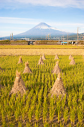 Rice field in front of Mt. Fuji, Honshu, Japan