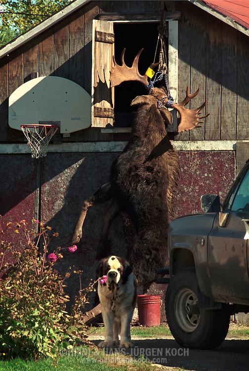 Vereinigte Staaten von Amerika, USA, 2001: Ein geschossener Elchbulle (Alces alces americana) hängt vor einer Scheune in Jackman. Ein Bernhadiner bewacht den Elch. | United States of America, USA, 2001: Shot moose bull, Alces alces americana, hanging in front of a barn, in a yard, Bernhadiner dog is guarding the moose, hunting season in Jackman, Maine. |