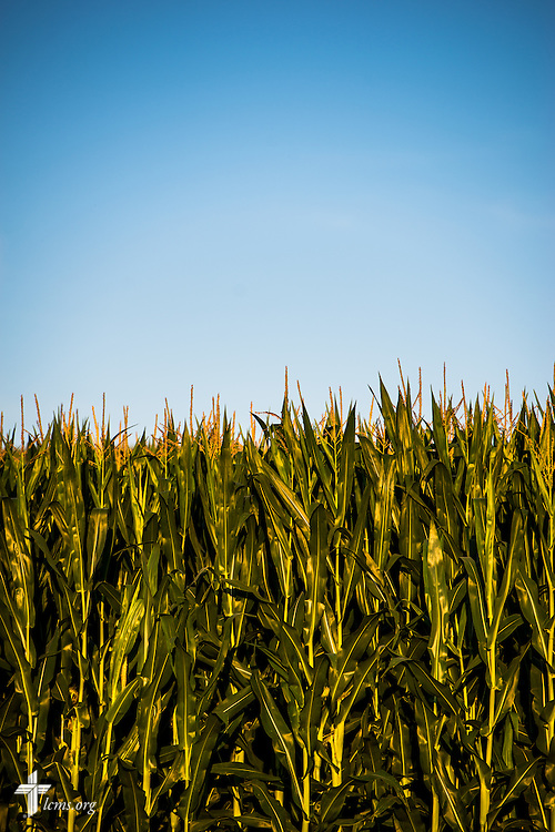 A corn crop near Mission Central on Saturday, July 18, 2015, in Mapleton, Iowa. LCMS Communications/Erik M. Lunsford