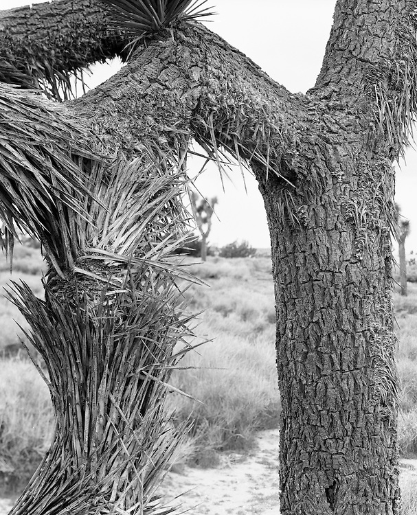 Detail shot of Joshua tree in Hesperia, shot with a large format film camera