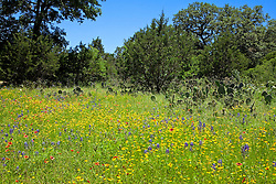 The very rural  Willow City Loop, near both Johnson City and Fredericksburg in the Hill country of central Texas, fills with a variety of wildflowers in spring. his meadow mixes a smattering of Texas Bluebonnets (Lupinus texensis) with red-orange Indian Blanket Flower (Gaillardia aristata), and yellow Brown-eyed Susans (Rudbeckia hirta, var. augustifolia).