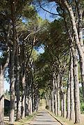 Italien, Euganeische Hügel bei Padua, Pinieanallee.. ..Italy, Colli Euganei, pine tree avenue