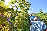 Nederland, Groesbeek, 27-9-2014 In Groesbeek worden de nationale wijnfeesten gehouden. Onderdelen zijn o.a. het druivenkneuzen, het met blote voeten stampen van de druiven, wijnproeven, of bezoek aan een wijnboer, wijngaard. Op wijngaard de colonjes leidt initiator van de wijnfeesten Freek Verhoeven de belangstellenden rond langs zijn wijnranken.Groesbeek wil zich manifesteren als nationaal wijndorp en een voortrekkersrol spelen in de nederlandse wijncultuur omdat het diverse wijngaarden huisvest. In groesbeek national wine festivals are held. Part of this was the grape grinding, with bare feet stamping of the grapes. Groesbeek wants a leading role in the Dutch wine culture because it houses various vineyards. À Groesbeek vin festivals nationaux sont organisés. Une partie de ce raisin a été le meulage, pieds nus estampillage des raisins. Groesbeek veut un rôle de premier plan dans la culture du vin hollandais car il abrite différents vignobles. Foto: Flip Franssen/Hollandse Hoogte