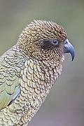 Kea Parrot, Fiordland, New Zealand