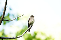 An adult Western Wood Pewee perched on a dead branch of an Aspen tree.