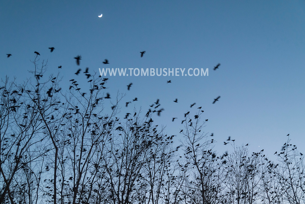 Middletown, New York - Crows gather in the trees at twilight on March 2, 2017. The cresent moon is at top. The planet Venus is just above the trees at right.