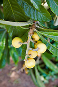 loquat tree Eriobotrya japonica with fruit, Photographed in Israel in Spring, April