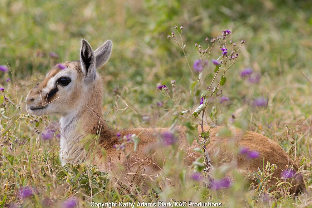 Baby Thomson's gazelle, Eudorac thomsonii, Ngorongoro Creater, Ngorongoro Conservation Area, Tanzania, Africa.