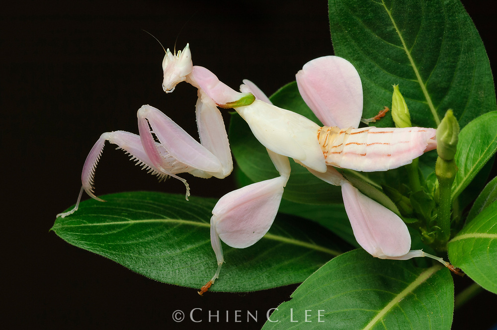 The Orchid Mantis (Hymenopus coronatus) is an ambush predator. Utilizing its superb camouflage it waits for unsuspecting insect prey to come withing striking distance. Pictured here is a juvenile specimen.