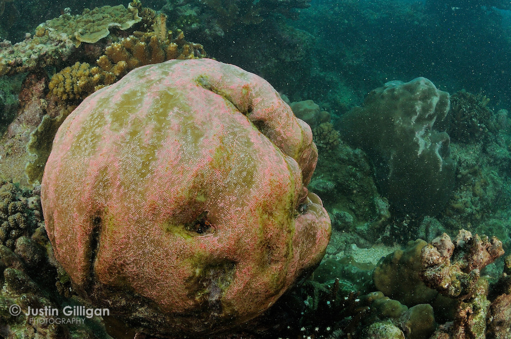 Hard coral damage caused by MV Tycoon accident off Christmas Island, Australia, Indian Ocean.
