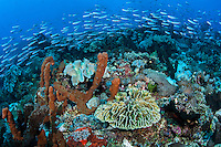 Schooling Fusiliers and Healthy Corals<br /> <br /> Shot in Indonesia