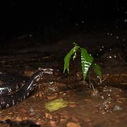 Jodi's Pipe Snake (Cylindrophis jodiae) in Kaeng Krachan, Thailand