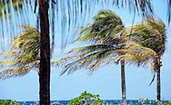 Cocos nucifera (coconut palms) by the Caribbean Sea at Walton's Mango Manor, Cayman Brac, Cayman Islands.