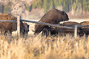 Buffalo jumps over a fence in Mormon Row Grand Teton National Park